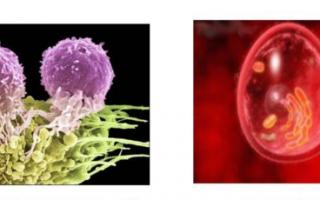 Лимфоциты повышены у женщины