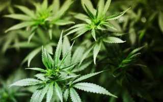 Сколько времени держится марихуана в моче