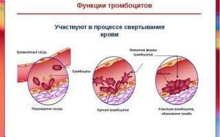 Какова функция тромбоцитов в крови человека?
