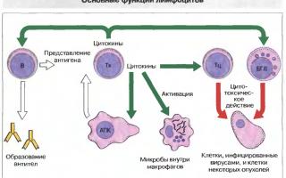 Лимфоциты повышены у взрослого, о чем это говорит? причины повышенных лимфоцитов у взрослых
